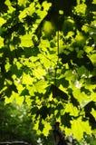 De groene Bladeren van de Esdoorn royalty-vrije stock fotografie