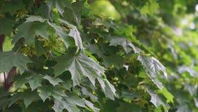 De groene Bladeren van de Esdoorn stock videobeelden