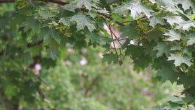 De groene Bladeren van de Esdoorn stock footage