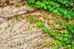 De groene bladeren van de wijnstokklimplant op een de bouwmuur Royalty-vrije Stock Afbeeldingen