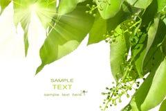 De groene bladeren van de zomer met zon Stock Foto