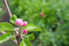 De groene bladeren van een appelboom met een bloem ontluiken op de groene achtergrond stock afbeeldingen