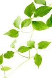De groene bladeren van een jonge plant zijn geïsoleerd Royalty-vrije Stock Afbeeldingen