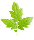 De groene bladeren van een jonge plant zijn geïsoleerd Royalty-vrije Stock Afbeelding