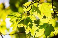 De groene Bladeren van de Esdoorn Stock Foto