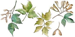 De groene Bladeren van de Esdoorn Botanisch de tuin bloemengebladerte van de bladinstallatie Geïsoleerd illustratieelement Royalty-vrije Illustratie