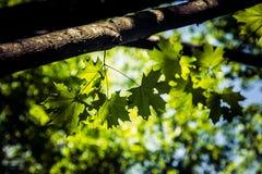 De groene Bladeren van de Esdoorn royalty-vrije stock afbeeldingen