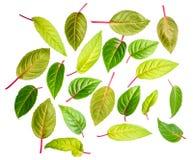 De groene bladeren van fuchsia is geïsoleerd op witte achtergrond Royalty-vrije Stock Foto's