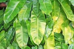 De groene bladeren van de hartvorm royalty-vrije stock foto