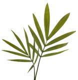 De groene Bladeren van het Bamboe die op Wit worden geïsoleerdn. Stock Foto's
