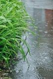 De groene bladeren van lelie onder de fijne regen Stock Foto