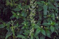 De groene bladeren van de munt bostuin royalty-vrije stock foto's