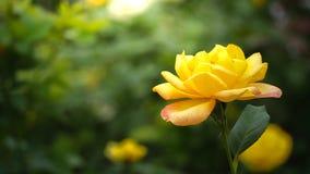 De groene bladeren van Rose Natural met de de onduidelijk beeld bokeh lente of zomer royalty-vrije stock foto