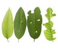 De groene bladeren worden gegeten door wormen Stock Foto
