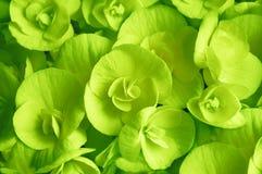 De groene bloeiende close-up van de begoniabloem Royalty-vrije Stock Afbeeldingen