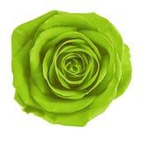 De groene bloem chartreuse nam geïsoleerd op witte achtergrond toe Close-up Stock Foto