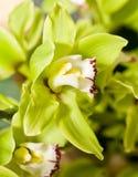 De groene bloem van Cymbidium of van de orchidee Royalty-vrije Stock Afbeeldingen