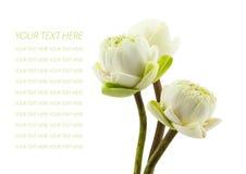 De groene bloesem van drie die lotusbloembloemen op witte achtergrond wordt geïsoleerd Royalty-vrije Stock Afbeeldingen