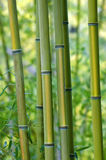 De groene Bomen van het Bamboe Royalty-vrije Stock Afbeelding