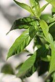 De groene boom doorbladert stock afbeeldingen