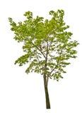 De groene boom van de de zomeresdoorn die op wit wordt geïsoleerd stock fotografie
