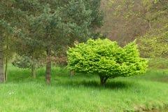De groene boom van de lente Stock Foto's