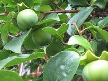 De groene boom van de paradijsappel Royalty-vrije Stock Afbeeldingen