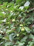 De groene boom van de paradijsappel Stock Afbeelding