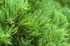 De groene boom van de struiktuin stock fotografie