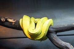 De groene boompython - viridis van Morelia - is species van python Het leven over het algemeen in bomen royalty-vrije stock fotografie