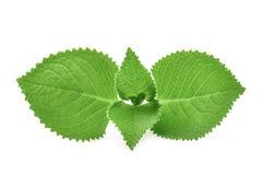 De groene Borage van het Bladerenland, Indische Borage, Siernetelamboinicus royalty-vrije stock fotografie