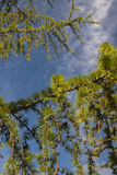 De groene bossen van de pijnboomboom Royalty-vrije Stock Foto