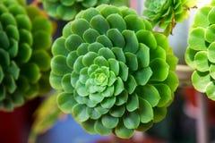 De groene cactus van Echeveriapulidonis in een tuin Close-up Stock Foto's