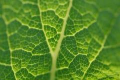 De groene close-up van de bladdigitalis in het backlighting Stock Fotografie