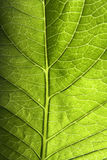 De groene Close-up van het Blad Stock Fotografie