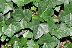 De groene close-up van Klimopbladeren stock foto's