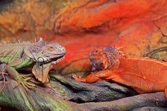 De Groene die leguaan van de Leguaanleguaan ook als Amerikaanse igua wordt bekend stock foto's