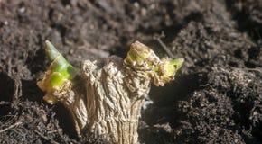 De groene die spruiten van de gemberwortel in grond worden geplant stock foto's