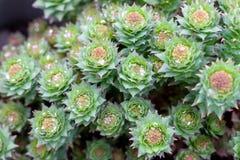 De groene die stammen van Rhodiola-rosea in de lente, met regen worden behandeld daalt, close-up stock fotografie
