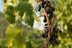 De groene druiven Bladeren en onweersbuien royalty-vrije stock afbeeldingen