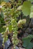 De groene druiven zijn zoet en smakelijk en gebruikt om witte wijn te maken stock afbeeldingen