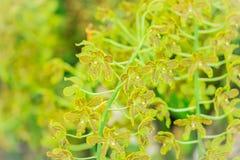 De groene en donkere bruine achtergrond van de orchideebloem van Grammatophyllum Stock Afbeelding