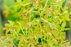 De groene en donkere bruine achtergrond van de orchideebloem van Grammatophyllum Stock Fotografie