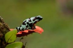 De groene en Zwarte Kikker van het Pijltje van het Vergift Royalty-vrije Stock Afbeelding