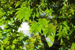 De groene esdoorn en de zon glanzen Royalty-vrije Stock Afbeeldingen