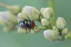 De groene flessenvlieg op bloem Stock Afbeelding