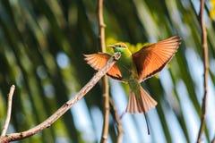 De groene fotografie van de beaeatervogel Stock Fotografie