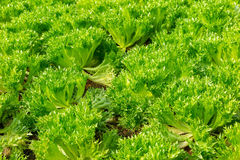 De groene Frillice-groenten van de Ijsbergsalade Stock Afbeeldingen