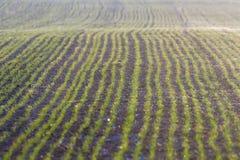 De groene gebieden met jonge spruiten bij zonsopgangspinneweb op een groene tarwe, springen landbouwzonsopgang op stock afbeelding