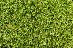 De groene geweven natuurlijke achtergrond van het mosgras Royalty-vrije Stock Afbeelding